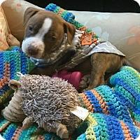 Adopt A Pet :: Dallas Cowboys - Phoenix, AZ