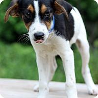 Adopt A Pet :: Freddie - Waldorf, MD