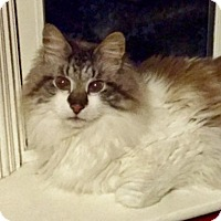 Persian Cat for adoption in Asheville, North Carolina - Ra-Kie