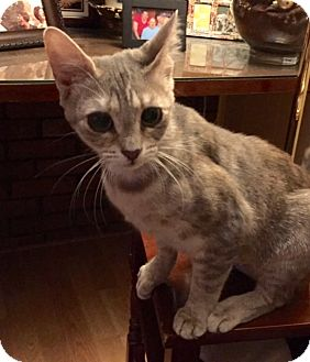 Domestic Shorthair Cat for adoption in Chattanooga, Tennessee - Lucy