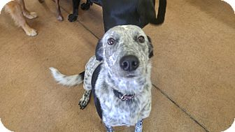 Australian Shepherd Mix Dog for adoption in Colorado Springs, Colorado - Starkey