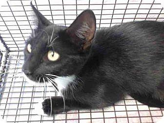 Domestic Shorthair Cat for adoption in San Bernardino, California - URGENT on 8/31 San Bernardino