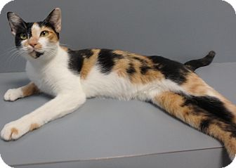 Domestic Shorthair Cat for adoption in Seguin, Texas - Tomomi
