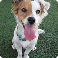 Adopt A Pet :: Yogi - Santa Ana, CA