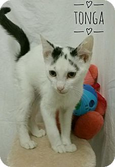 Domestic Shorthair Cat for adoption in Kendallville, Indiana - Tonga