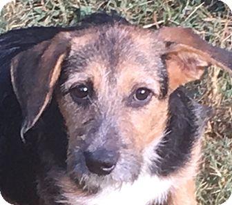 Terrier (Unknown Type, Medium)/Wirehaired Fox Terrier Mix Puppy for adoption in Staunton, Virginia - Rosetta