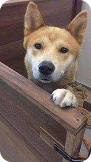 Jindo Mix Dog for adoption in Denver, Colorado - Rhett