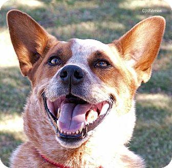 Australian Cattle Dog Dog for adoption in Scottsdale, Arizona - Sammie