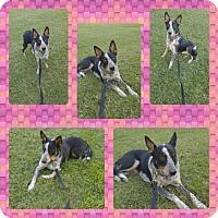 Australian Cattle Dog Dog for adoption in Phoenix, Arizona - Gemma