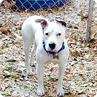 Bull Terrier/English Bulldog Mix Puppy for adoption in Los Angeles, California - Super cute Gracie