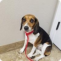 Beagle Dog for adoption in Las Vegas, Nevada - Meadow