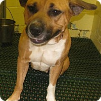 Shepherd (Unknown Type)/Boxer Mix Dog for adoption in Gary, Indiana - Jane
