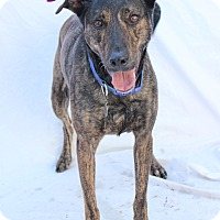 Greyhound/Labrador Retriever Mix Dog for adoption in Bradenton, Florida - Lily