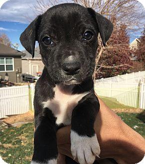 Labrador Retriever Mix Puppy for adoption in Fort Collins, Colorado - Pearl (DENVER)