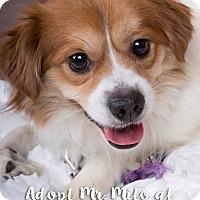 Pekingese/Beagle Mix Dog for adoption in Newport, Kentucky - Mr Milo