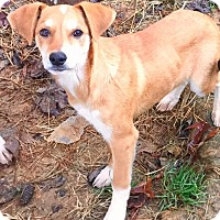 Adopt A Pet :: Sully - Charlotte, NC