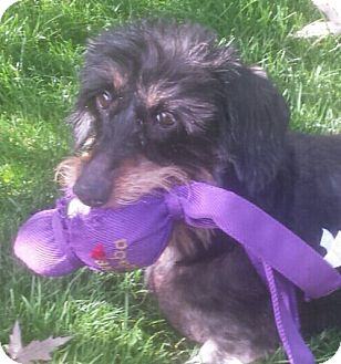 Dachshund Dog for adoption in Portland, Oregon - GIA (formerly known as Ella)