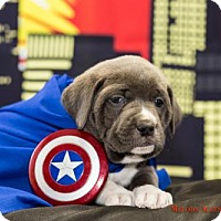 Adopt A Pet :: Captain America - West Orange, NJ