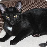 Adopt A Pet :: Weston - Y Litter - Livonia, MI