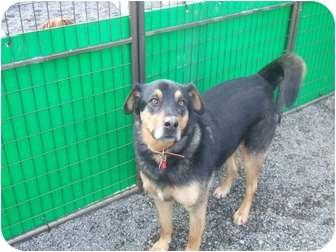 German Shepherd Dog/Rottweiler Mix Dog for adoption in Surrey, British Columbia - Louie