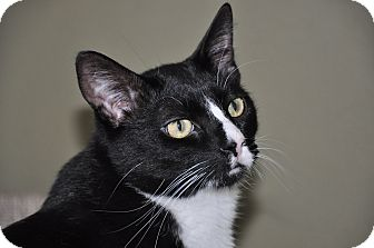Domestic Shorthair Cat for adoption in Foothill Ranch, California - Toby
