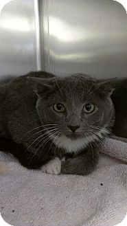 Domestic Shorthair Kitten for adoption in Richboro, Pennsylvania - Josh Hutcherson