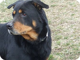 Rottweiler Mix Dog for adoption in Carey, Ohio - BEAR