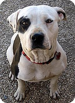 American Staffordshire Terrier Dog for adoption in Toluca Lake, California - Michelle