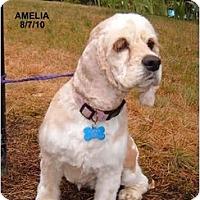Adopt A Pet :: Amelia - Tacoma, WA