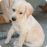 Adopt A Pet :: Brody - La Habra Heights, CA