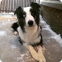 Adopt A Pet :: Blue - Saskatoon, SK