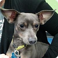 Adopt A Pet :: Henri-adoption pending - Schaumburg, IL