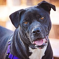 American Pit Bull Terrier/Boxer Mix Dog for adoption in Raleigh, North Carolina - Molly