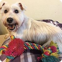 Adopt A Pet :: Iveta - Las Vegas, NV