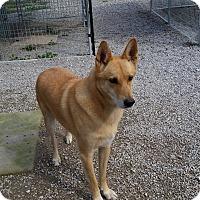 Shepherd (Unknown Type)/Golden Retriever Mix Dog for adoption in Port Clinton, Ohio - KOBE