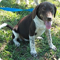 German Shorthaired Pointer Mix Puppy for adoption in Hagerstown, Maryland - Hannah