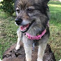 Adopt A Pet :: Brandy - Norman, OK