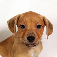 Adopt A Pet :: Nash Boxer - St. Louis, MO