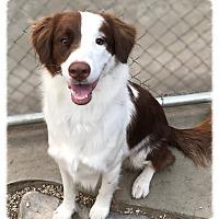 Australian Shepherd/Border Collie Mix Dog for adoption in Los Alamitos, California - Garth
