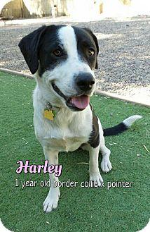 Border Collie/Pointer Mix Dog for adoption in Phoenix, Arizona - Harley-Quinn
