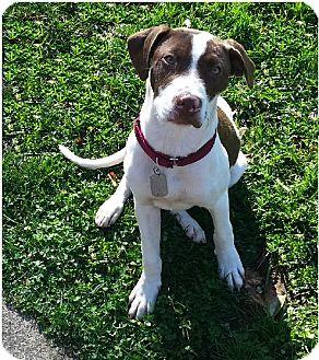 Boxer/Terrier (Unknown Type, Medium) Mix Dog for adoption in Toledo, Ohio - Hugo