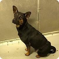 German Shepherd Dog Dog for adoption in Whiteville, North Carolina - Elise