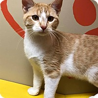 Domestic Shorthair Cat for adoption in Maryville, Missouri - Hiendell