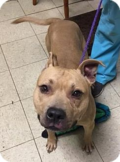 Terrier (Unknown Type, Medium)/American Pit Bull Terrier Mix Dog for adoption in Fulton, Missouri - Drumstick- Ohio