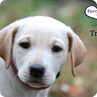 Adopt A Pet :: Tristin - Lee's Summit, MO