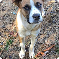 Boxer/Bloodhound Mix Dog for adoption in Charlotte, North Carolina - Bonnie