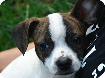Boston Terrier/Chihuahua Mix Puppy for adoption in Afton, Tennessee - Radar