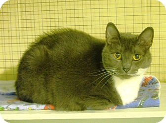 Domestic Shorthair Cat for adoption in Mission, British Columbia - Willow