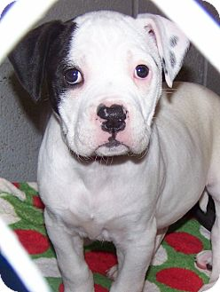 Labrador Retriever/American Staffordshire Terrier Mix Puppy for adoption in Grants Pass, Oregon - Rascal