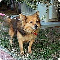 Adopt A Pet :: Caleb - Tinton Falls, NJ